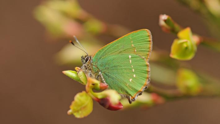 Green Hairstreak © David Morris