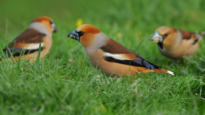 Hawfinch © Robert Pocklington