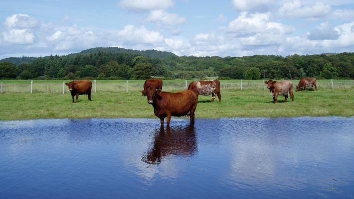 Cattle and wetlands © David Morris