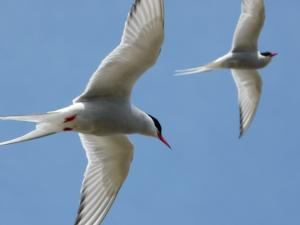 Arctic Terns - Foulney Island © Bart Donato
