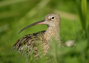 curlew (c) David Morris