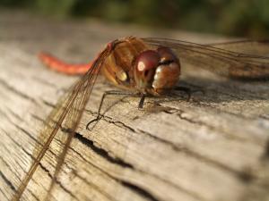 Common Darter Dragonfly © Philip James Taylor