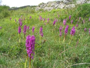 Early purple orchid © Arnside & Silverdale AONB