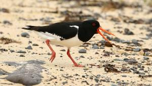 Oystercatcher © Ken Smith