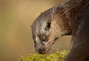 otter (c) Ben Andrew