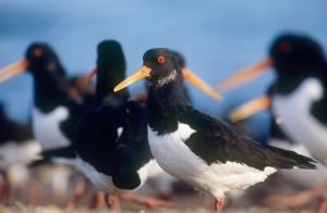 oystercatcher © Andy Hay rspb images.com