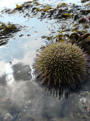 sea urchin © Bart Donato