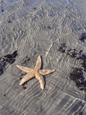 starfish on mussel bed  © Bart Donato